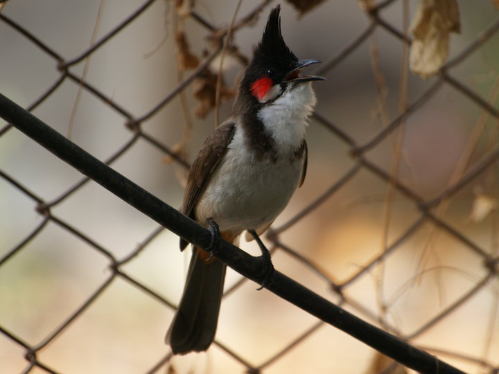 Red Wiskered Bulbul